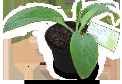 Bibit Herbal