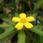 Bunga Pukul Delapan
