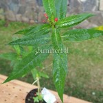 Bibit Flower Remidish BumiHerbal