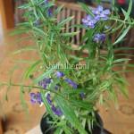 Bibit Lavender BumiHerbal