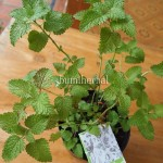 Bibit Lemon Balm BumiHerbal