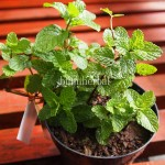 Bibit Mint BumiHerbal