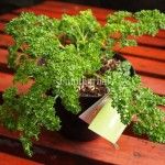 Bibit Parsley BumiHerbal
