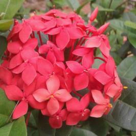 Manfaat Bunga Asoka untuk Datang Bulan