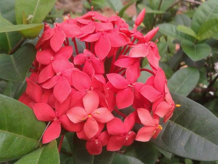 Manfaat Bunga Asoka Untuk Datang Bulan Bumi Herbal Dago